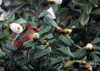 Cardinals. Wildlife. Nature Photograph - Momma Cardinal by Skip Willits