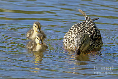 Momma Mallard And Her Ducklings Print by Sharon Talson
