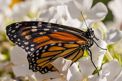 Moth Photograph - Monarch Butterfly by Adam Romanowicz