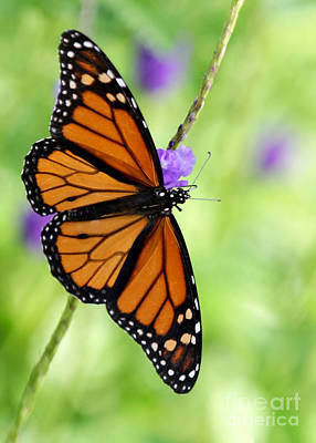 Monarch Butterfly In Spring Print by Sabrina L Ryan