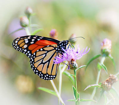 Flower Photograph - Monarch Butterfly  by Kerri Farley