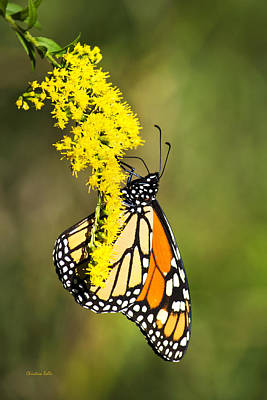 Monarch Butterfly On Goldenrod Print by Christina Rollo