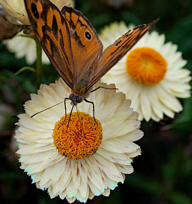 Monarch Butterfly On Paper Daisy Print by Patrick OConnell