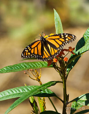 Monarch Butterfly On Plant With Eggs Print by Anthony Mercieca