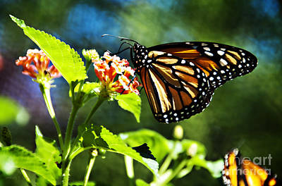 Stein Photograph - Monarch Butterfly Resting On A Flower by Nancy E Stein