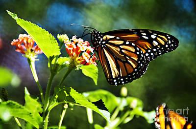 Monarch Butterfly Resting On A Flower Print by Nancy E Stein