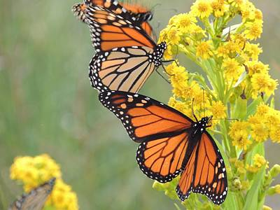 Monarch Gathering Print by Laurence Van Oliver