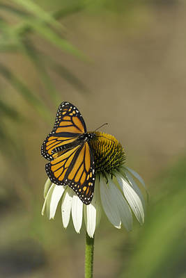 Tommytrout Photograph - Monarch On Cone Flower by Thomas Young