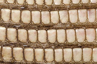 Monitor Photograph - Monitor Lizard Skin by Nigel Downer