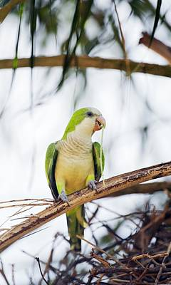 Quaker Parrot Photograph - Monk Parakeet by Science Photo Library