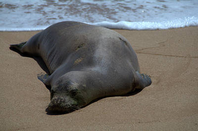 Monk Seal Sunning Print by Brian Harig