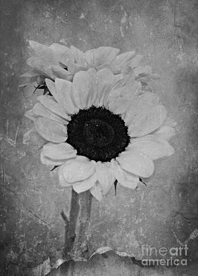 Monochrome Sunflower Print by Clare Bevan