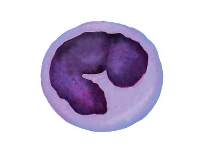 Hematology Photograph - Monocyte Blood Cell by Asklepios Medical Atlas