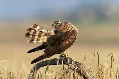 Harrier Photograph - Montagu's Harrier by Dr P. Marazzi