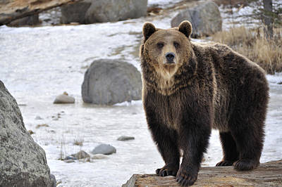 Daysray Photograph - Montana Grizzly  by Fran Riley
