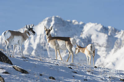 Montana Pronghorn Print by Wildlife Fine Art