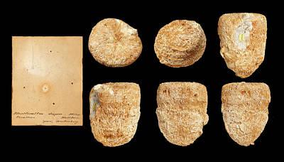 Anthozoa Photograph - Montlivaltia by Natural History Museum, London