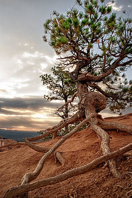 Photograph - Monumental Ponderosa Pine  by R J Ruppenthal