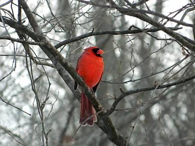 Cardinal Photograph - Moody Red Cardinal by Nancy Spirakus