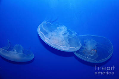 Moon Jelly Fish 5d24936 Print by Wingsdomain Art and Photography