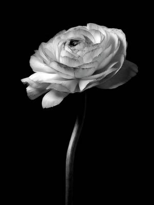 Black And White Roses Flowers Art Work Photography Print by Artecco Fine Art Photography