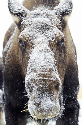 Moose Alces Alces Face Covered Print by Mark Newman