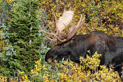 Moose Photograph - Moose Emerging From The Forest by Marilyn Burton