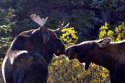 Moose Photograph - Moose Kisses by Marilyn Burton