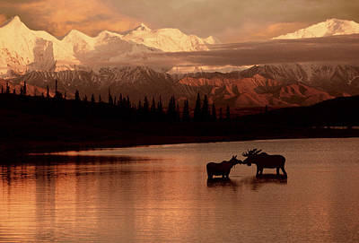 Moose Kissing In Wonder Lake Denali Np Print by Ron Sanford