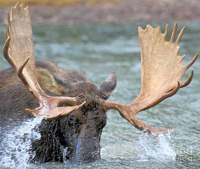 Moose In Water Photograph - Moose Splash by Adam Jewell