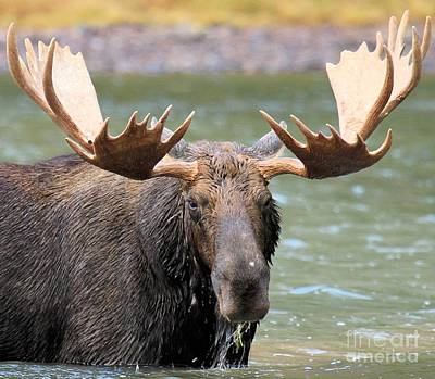 Moose In Water Photograph - Moose With A Mouthful by Adam Jewell