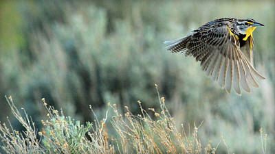 Meadowlark Photograph - Morning Flight.. by Al  Swasey