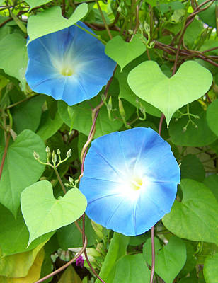 Morning Glory Print by Noreen HaCohen