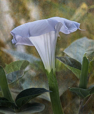 Angels Trumpet Photograph - Morning Light by Angie Vogel