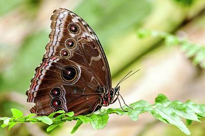 Central American Wildlife Photograph - Morpho Butterfly by Petr Jan Juracka