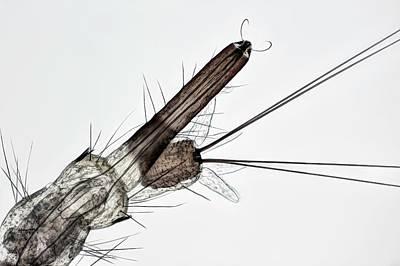 Mosquito Larva Print by Frank Fox