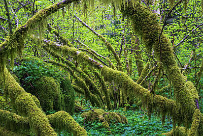Moss Grows On Vine Maple Trees  Acer Print by Robert L. Potts