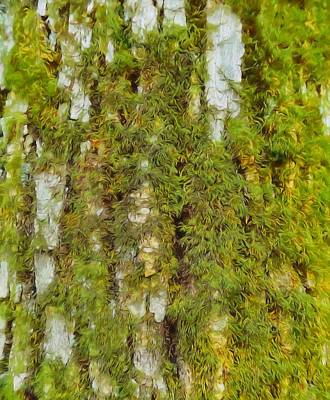 Moss On A Tree Print by Dan Sproul