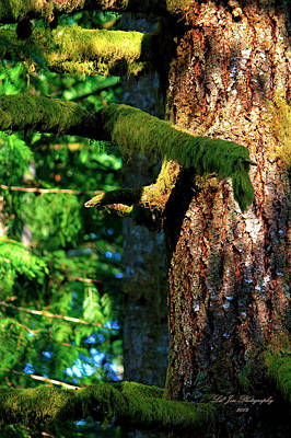 Moss On The Evergreens Print by Jeanette C Landstrom