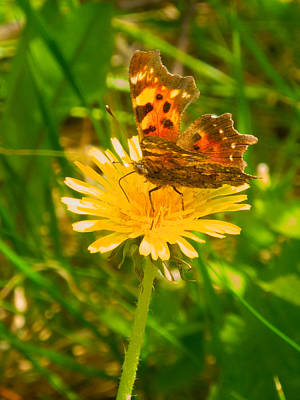 Moth On A Dandelion Along Cobb Lake Trail In Kootenay Np-bc Original by Ruth Hager