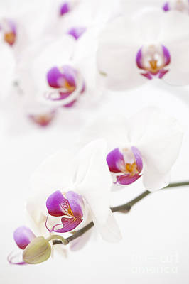 Moth Orchid Print by Anne Gilbert