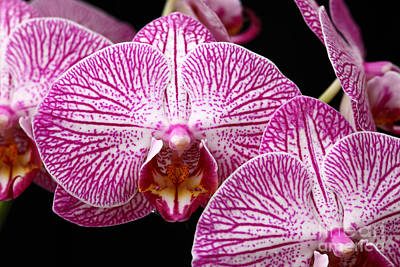 Orchids Photograph - Moth Orchid by James Brunker