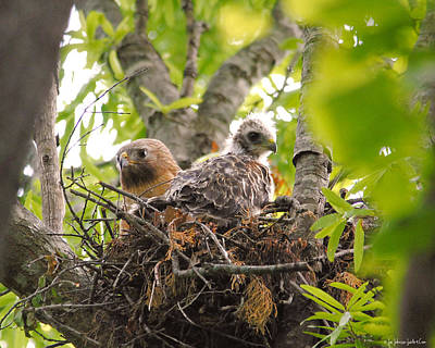 Mother And Baby Red Shouldered Hawk Print by Jai Johnson