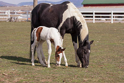 Mother And Filly Grazing Pasture White Print by Piperanne Worcester