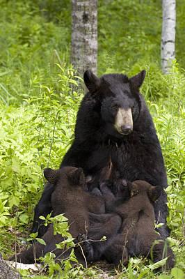 Mother Black Bear Nursing Spring Cubs Print by Michael DeYoung