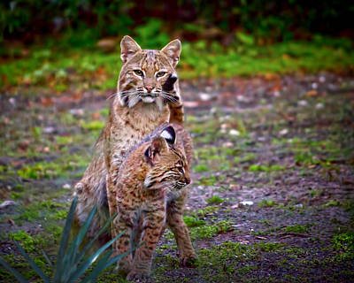 Mother Bobcat And Kitten Print by Mark Andrew Thomas