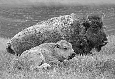 Mother Buffalo And Calf Black And White Print by Jennie Marie Schell