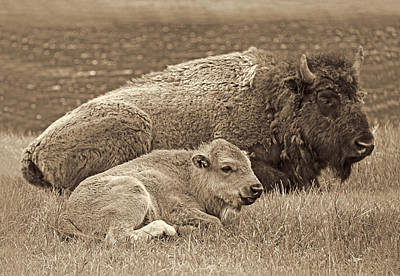 Mother Buffalo And Calf Sepia Print by Jennie Marie Schell