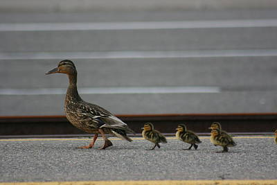 Mother Duck And Babies Print by Paula Brown