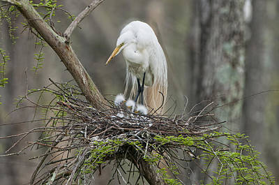 Mother Egret And Chicks Print by Bonnie Barry
